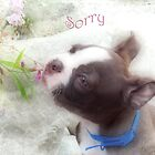 Sorry ~ Boston Terrier Greeting Card by Susan Werby