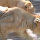 Panthera leo by dbernadette930