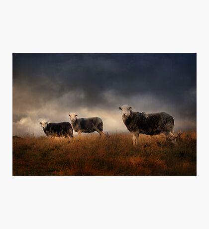 Herdwick treo Photographic Print