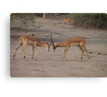 Two Male Impalas Fighting Canvas Print