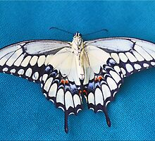 Passed On Swallowtail by Chet  King