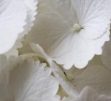 white hydrangea Sticker