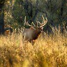 Bugling Bull Elk, Montana by Donna Ridgway