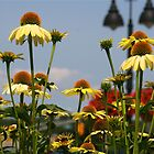 In the Land of Cone Flowers... by autumnwind