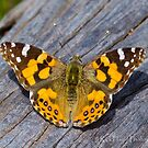 Australian Painted Lady Butterfly by Rick Playle