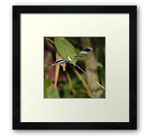 Blue-winged helicopter damselfly in flight Framed Print