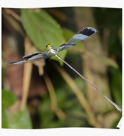 Blue-winged helicopter damselfly in flight Poster