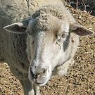 Portrait of an Marino Sheep by DPalmer