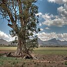 The Cazneaux Tree, Flinders Ranges, South Australia by Adrian Paul