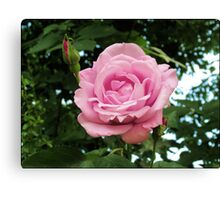 Pink Rose and Buds Canvas Print