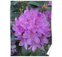 Rhododendron Bouquet Poster