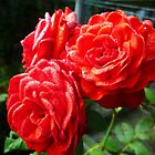 Trois roses gourmandes ! by pitoire