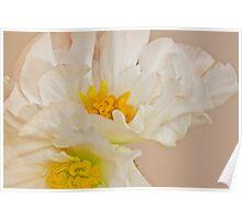 White Begonia Ruffles  Poster