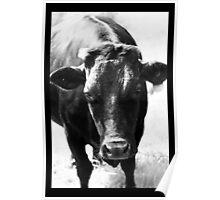 Old Dexter cow Poster