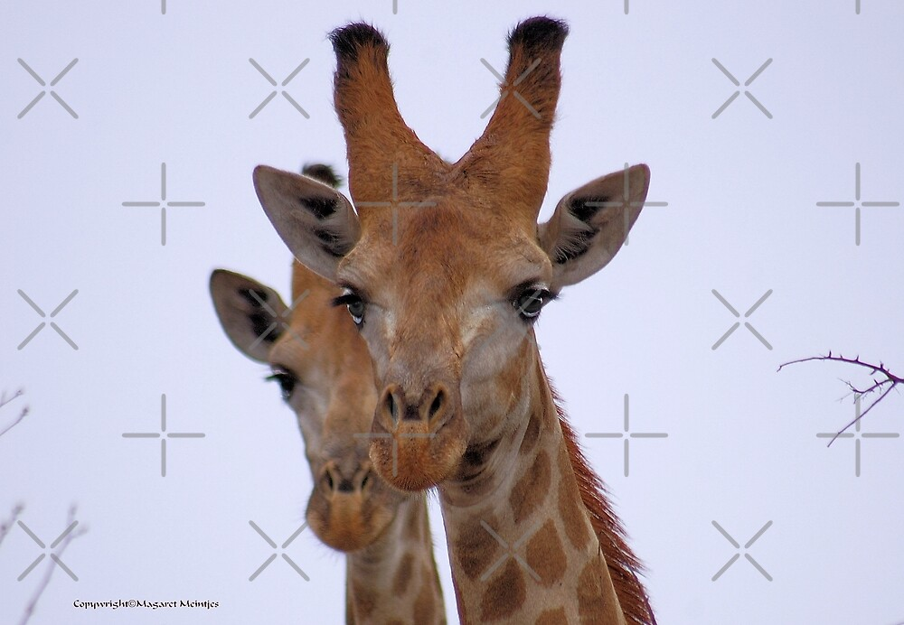 THE GIRAFFE, a perfect pose -  Giraffa camelopardalis by Magriet Meintjes