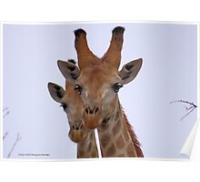 THE GIRAFFE, a perfect pose -  Giraffa camelopardalis Poster