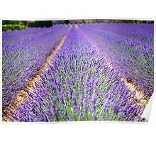 Lavender Flowers Poster