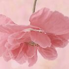 Pretty Pink Poppy Macro by Sandra Foster