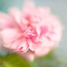 Delicate Pink Rose by Ellesscee