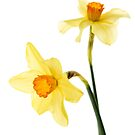 Daffodils by Ellesscee
