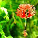 Fragile Hibiscus by Barnbk02