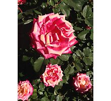 Rose for Four Photographic Print