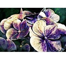 Hortensia flowers in vintage grunge watercoloring style Photographic Print