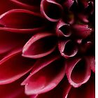 The red dahlia (original version) by Kell Rowe