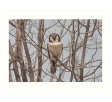 Northern Hawk-Owl  Art Print
