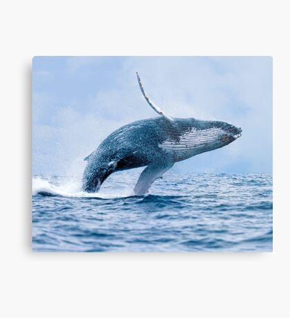 Breaching Humpback Whale Metal Print