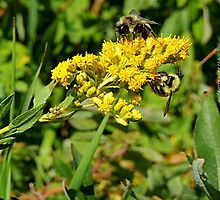 Bee's & Flowers by getmycamera