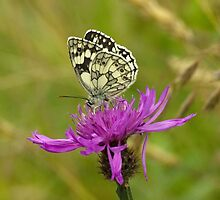 Marbled White Butterfly by Linda Marques
