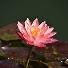 Pink Water Lily by Scott Mitchell