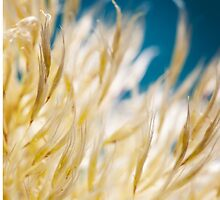 Pampas Grass Plume by doorfrontphotos