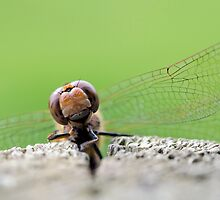 Common Darter by Paul Spear