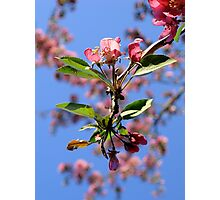 Crabapple Photographic Print