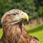 Sea Eagle Portrait by M.S. Photography & Art