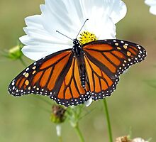 Monarch Butterfly on Cosmos by Susan S. Kline
