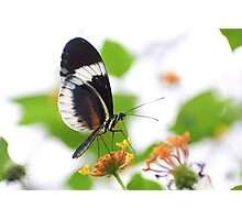 Small blue Grecian butterfly Photographic Print