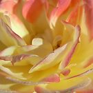 rose IV by Floralynne
