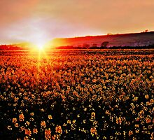 Rapeseed Flowers at Sunset by ScenicViewPics