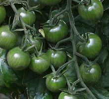 Solanum lycopersicum in Green by Yampimon