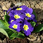 Bright and Beautiful - Sunkissed Purple Primrose by MidnightMelody