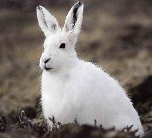 Arctic Hare by BravuraMedia
