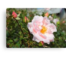 Pink rose in drops of dew Canvas Print