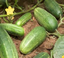 Cucumbers Sticker