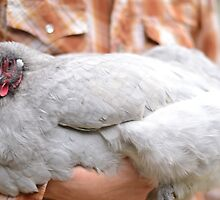 Lavender Orpington Hen by mychickens