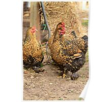 Golden Laced Hens Poster