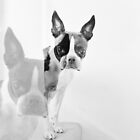 Meryl the Boston Terrier by Ludwig Wagner