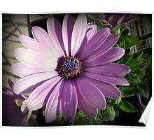 Osteospermum - Blue eyed African daisy Poster